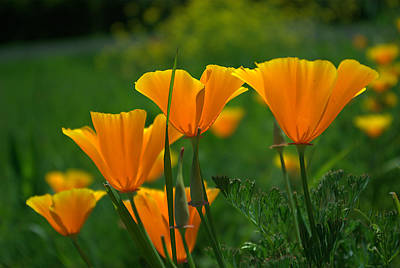 Print featuring the photograph California Poppies by Ken Dietz