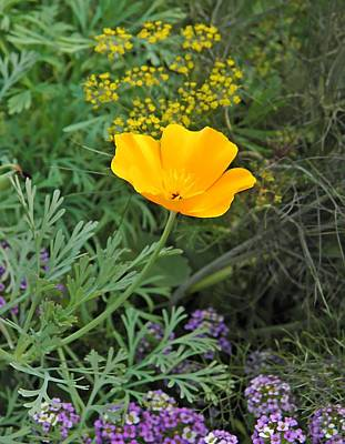 Photograph - California Poppy And Dill  by Chris Berry