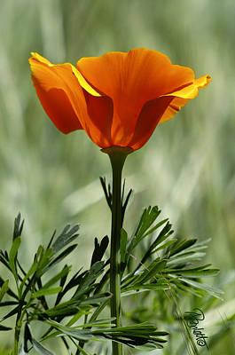 Photograph - California Poppy by Ann Ranlett