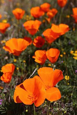Photograph - California Poppy by Bill Singleton