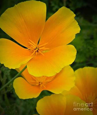 Photograph - California Poppy by Chalet Roome-Rigdon