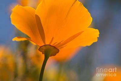 Photograph - California Poppy by Chris Scroggins