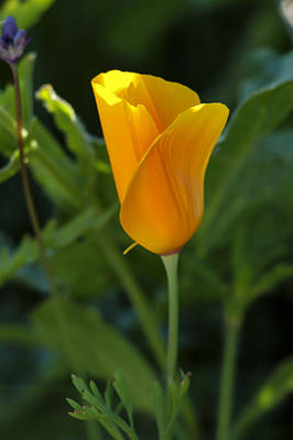 Photograph - California Poppy Closeup 2 by Lee Kirchhevel