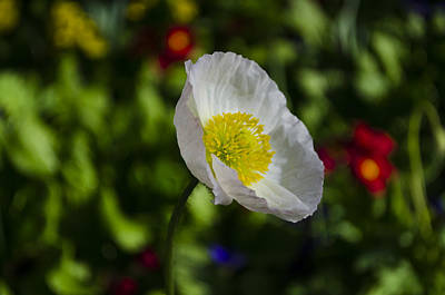 Photograph - California Poppy by Dan Hefle