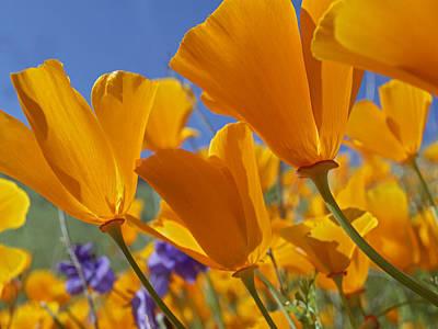 Photograph - California Poppy Eschscholzia by Tim Fitzharris
