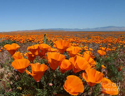 Photograph - California Poppy Field by Suzette Kallen