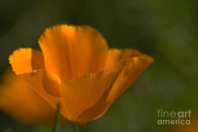 Floral Photograph - California Poppy by Fred Ziegler