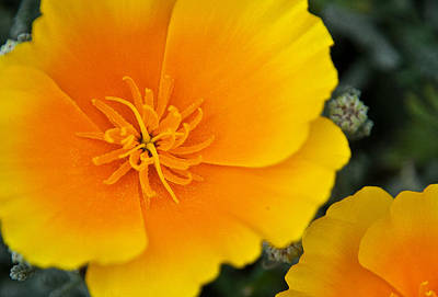 Center Glow Photograph - California Poppy In Spring by Matthew Bamberg