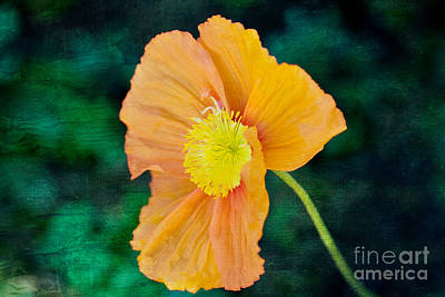 Photograph - California Poppy by Kay Pickens