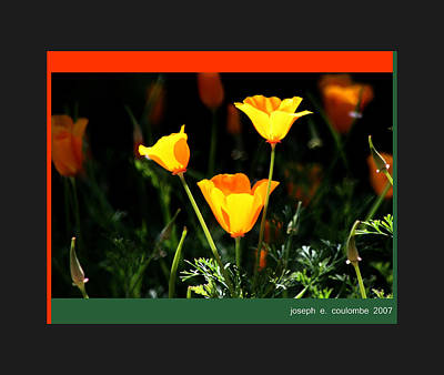 Photograph - California Poppys 2007 by Joseph Coulombe