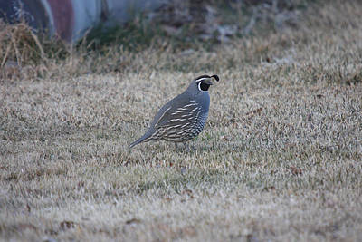 Photograph - California Quail - 0003 by S and S Photo