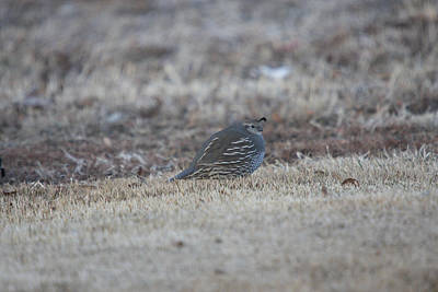 Photograph - California Quail - 0004 by S and S Photo