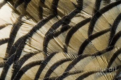 California Quail Photograph - California Quail Breast Feathers by William H. Mullins