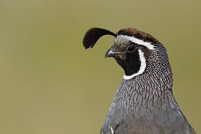 California Quail Highly Detailed Portrait Art Print by Tom Reichner