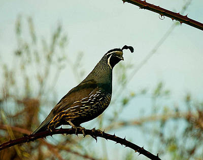 Robert Walker Photograph - California Quail by Robert Walker