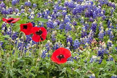 Photograph - California Red And Texas Blue by Melinda Ledsome