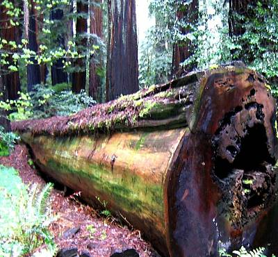 Digital Art - California Redwoods 2 by Will Borden