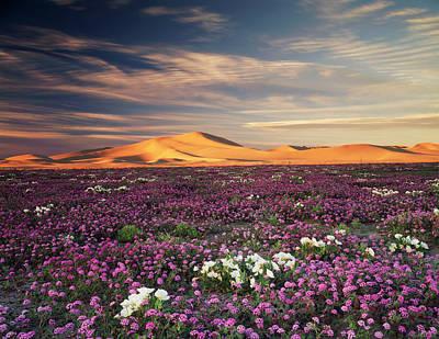 California, Sand Verbena Wildflowers Art Print by Christopher Talbot Frank