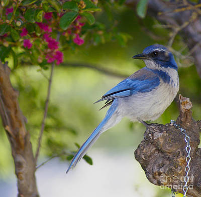 California  Scrub Jay Art Print