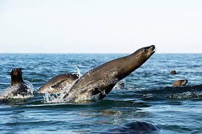 California Sea Lion Breaching Print by Christopher Swann
