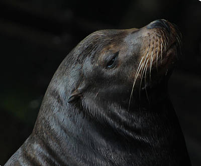 Photograph - California Sea Lion by Deana Glenz