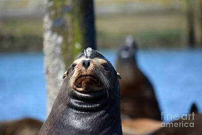 Photograph - California Sea Lion by Gayle Swigart