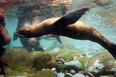 California Sea Lions Photograph - California Sea Lion In Shallow Water by Christopher Swann
