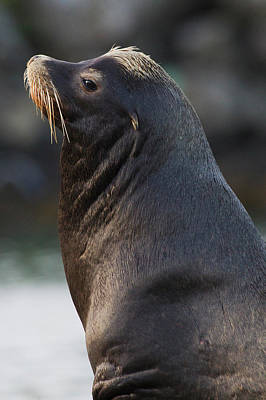 Neah Bay Photograph - California Sea Lion by Ken Archer