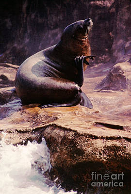 California Sea Lion Raising A Flipper Art Print by Anna Lisa Yoder