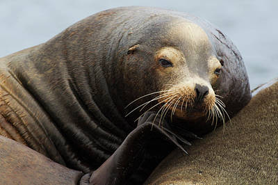 California Sea Lions Photograph - California Sea Lion Resting by Ken Archer