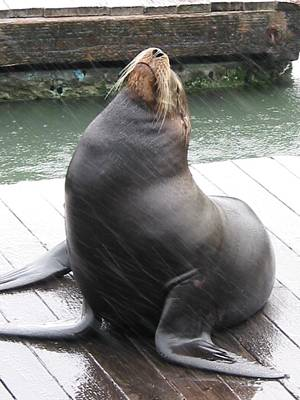 California Sea Lion Original by Thomas Mendise