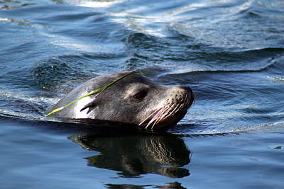 Valerie Broesch Photograph - California Sea Lion  by Valerie Broesch