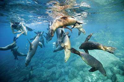 Sea Lions Photograph - California Sea Lions And Snorkeller by Christopher Swann
