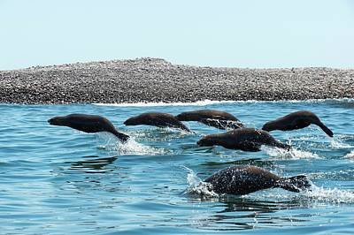 California Sea Lions Photograph - California Sea Lions Leaping by Christopher Swann