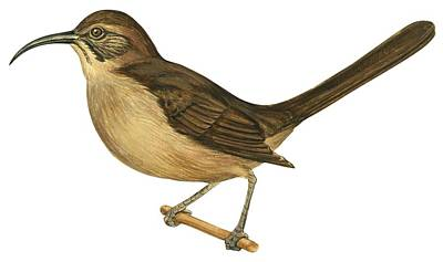 Horizontal Drawing - California Thrasher by Anonymous
