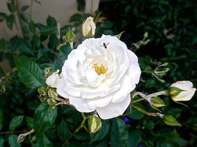 Photograph - California White Rose by Kristina Deane