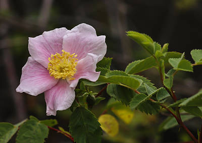 Photograph - California Wild Rose by Lee Kirchhevel