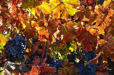 Photograph - California Wine Grapes by Marilyn MacCrakin