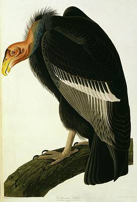 Condor Wall Art - Photograph - Californian Condor by Natural History Museum, London/science Photo Library