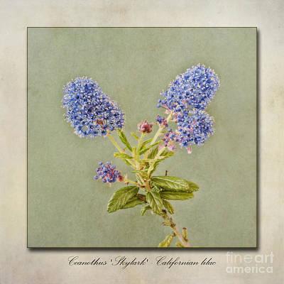 Californian Lilac Art Print by John Edwards