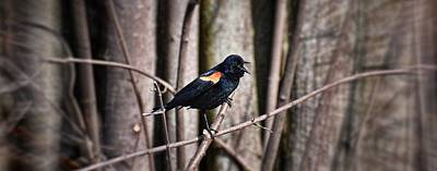 Photograph - Call Of The Red Winged Blackbird by Henry Kowalski