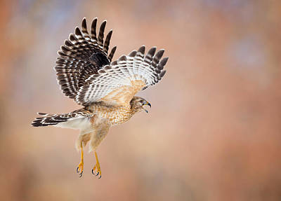 Red Shouldered Hawk Photograph - Call Of The Wild by Bill Wakeley