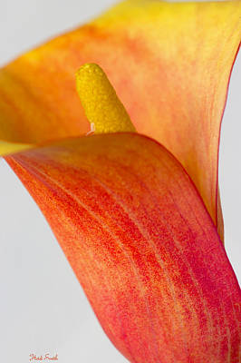 Photograph - Calla by Heidi Smith
