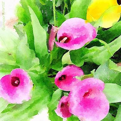 Lilies Photograph - Calla Lilies  by Anna Porter