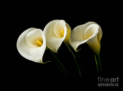 Photograph - Calla Lilies by Larry Carr