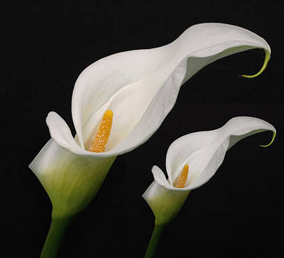 Photograph - Calla Lilies by Wes and Dotty Weber
