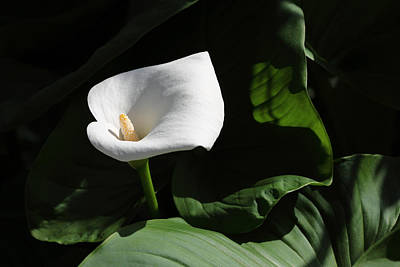 Photograph - Calla Lilly  by Alan Vance Ley
