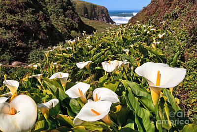 Photograph - Calla Lilly Heaven by Stuart Gordon