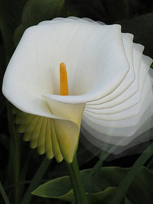 Photograph - Calla Lilly Sprial by Alison Stein
