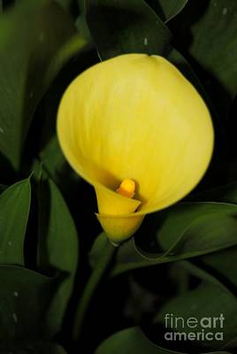 Photograph - Calla Lily 2 by Rachael Shaw